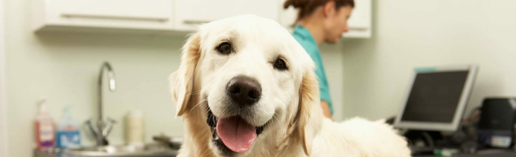 White dog looking towards camera with veterinarian in the back ground
