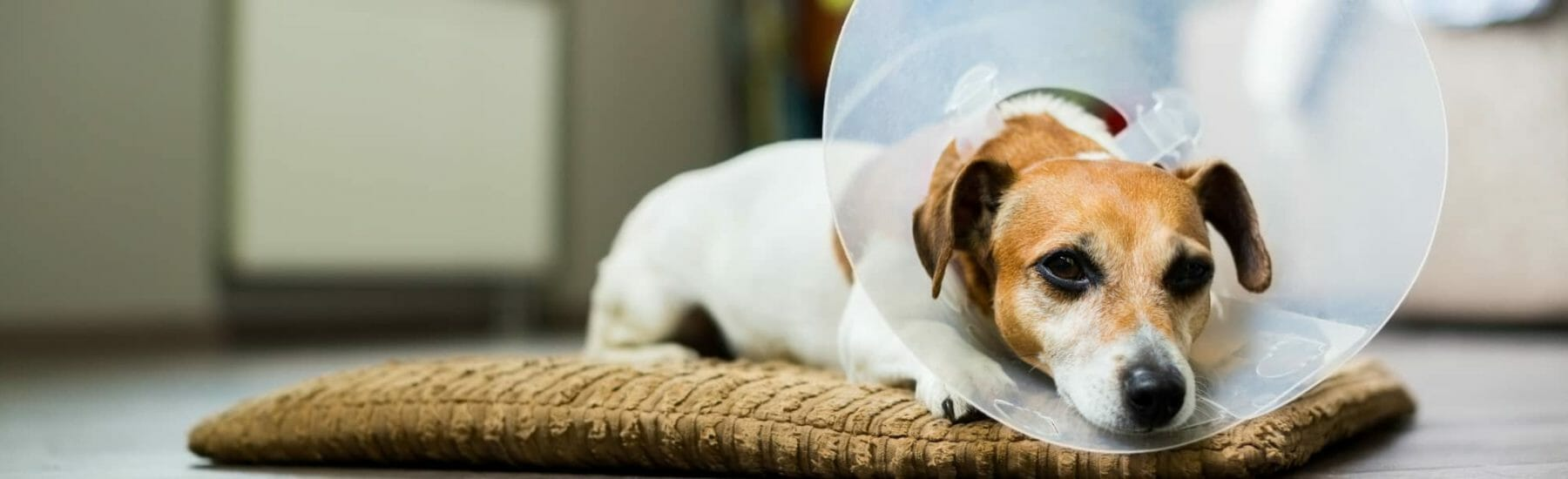 White and orange dog with transparent cone on head