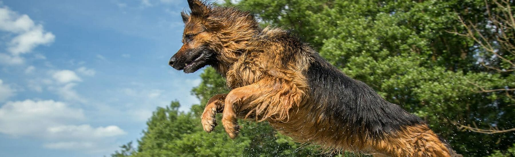 Large dog jumping through the air